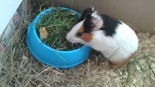 First birthday- Guinea Pig [Pierwsze urodziny Zyzia] ♥
