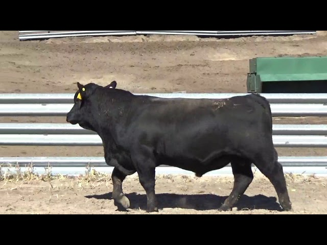 Connealy Angus Lot 163
