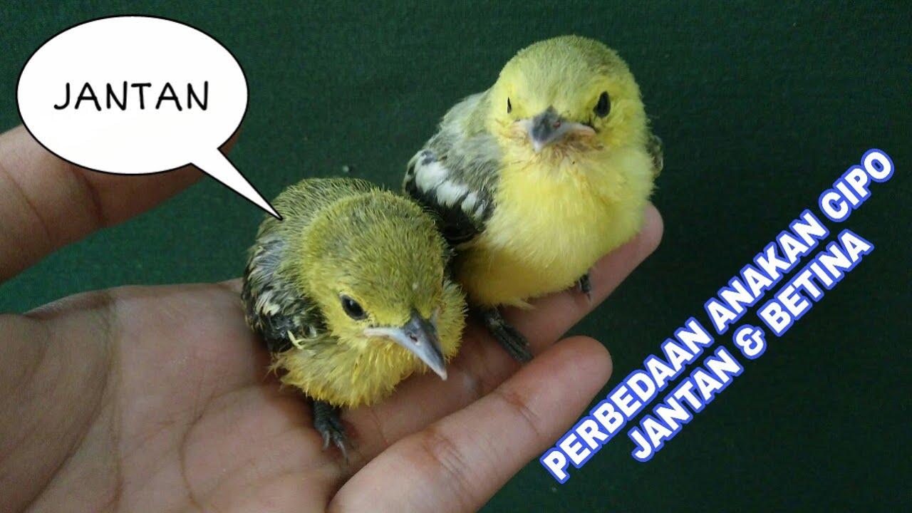 Tips Cara Membedakan Memilih Anakan Burung Cipoh Jantan Betina Cipo Sirtu Cipew Cito Youtube