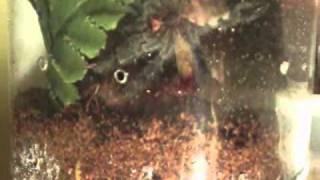 Avicularia Purpurea cf L5