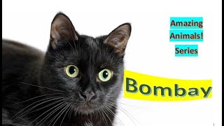 Bombay Cat  Pet Cats ⬛ shorthaired breed of domestic cat, closely related to the Burmese