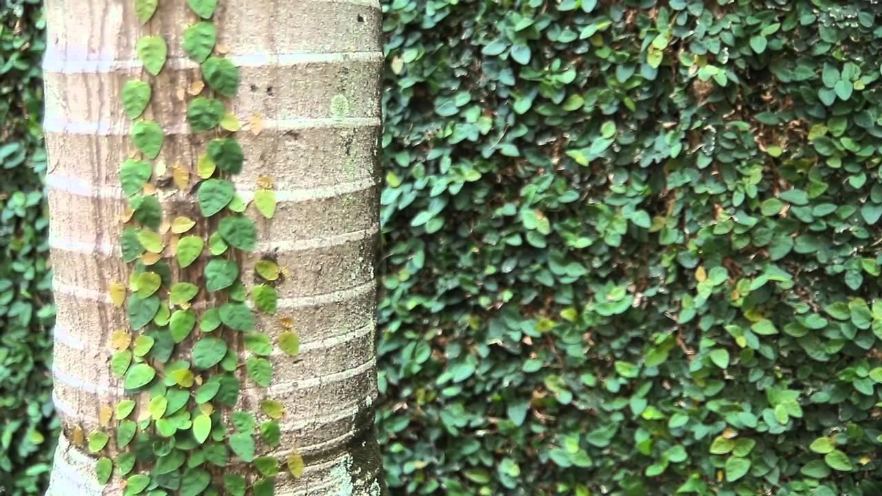 duelo das plantas de cobrir muros  YouTube