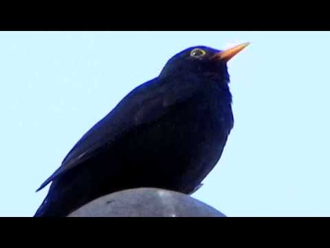 AMSEL Gesang - Blackbird Song