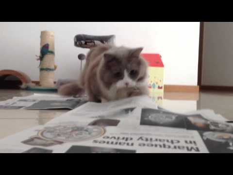 munchkin cat playing with newspaper with its short legs.