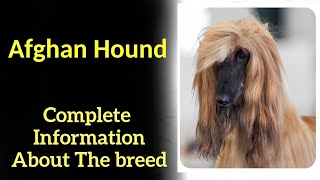 Afghan Hound. Pros and Cons, Price, How to choose, Facts, Care, History