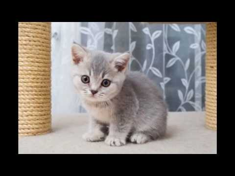 British Shorthair Cat and Kittens | Charming Blue and White Breed
