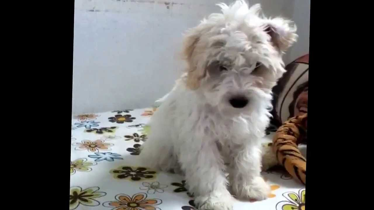 Perro French Poodle 3 Meses Youtube