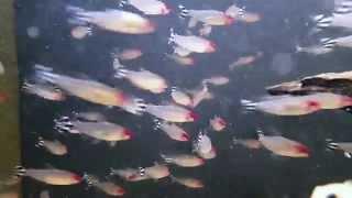 hemigrammus bleheri bij aquarium speciaalzaak utaka