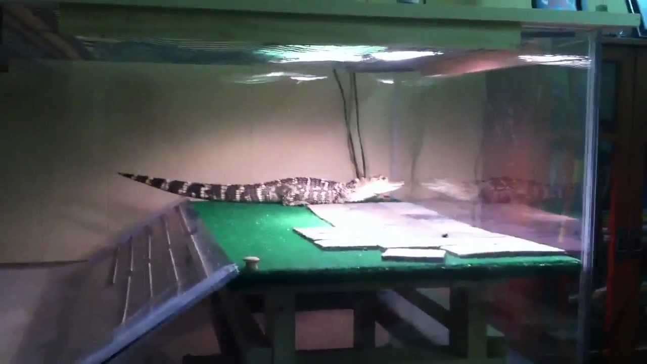 My American Alligator Tank/Setup - YouTube