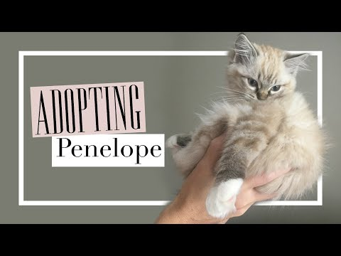 The Day We Adopted Our Ragdoll Kitten
