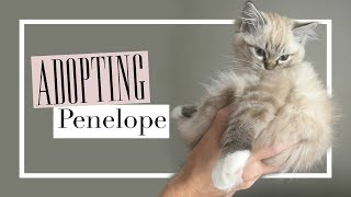 The Day We Adopted Our Ragdoll Kitten, Penelope