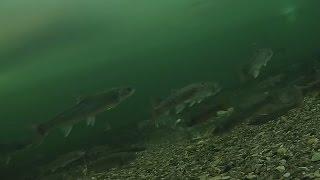 Рыбалка на Лангери. Сахалин(Рыбалка на Лангери. Ролик сделан из рыбалки 2 дней. Выбраны наиболее весёленькие моменты., 2016-05-20T16:21:18.000Z)