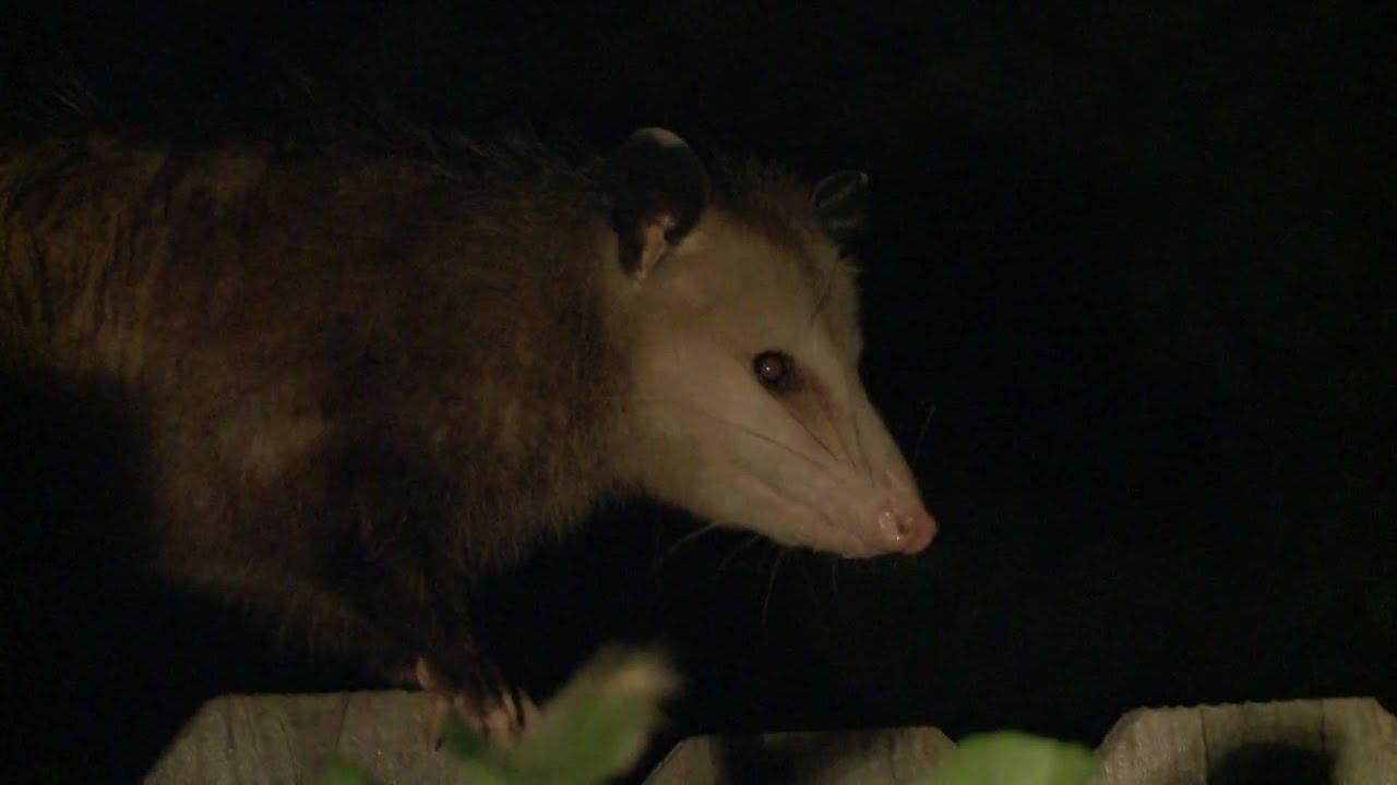 Scared Opossum In Backyard [HD]