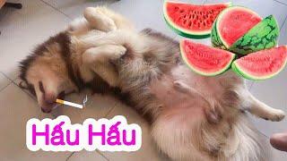 Chó Mật giãy đành đạch ăn vạ vì bị bắt nạt  - Dog sulking so cute ha ha