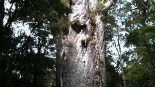 2 nd largest kauri