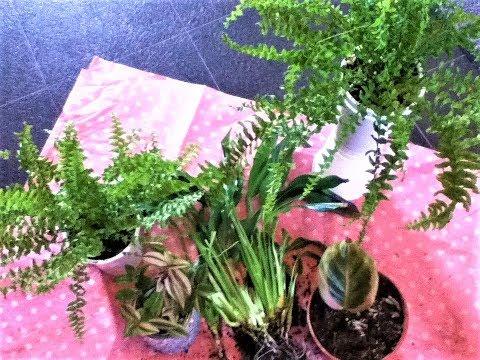 diy-plant-holder/boston-fern-and-calathea-update