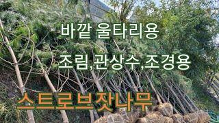 생울타리 상록수 스트로브잣나무 -  신라조경농원