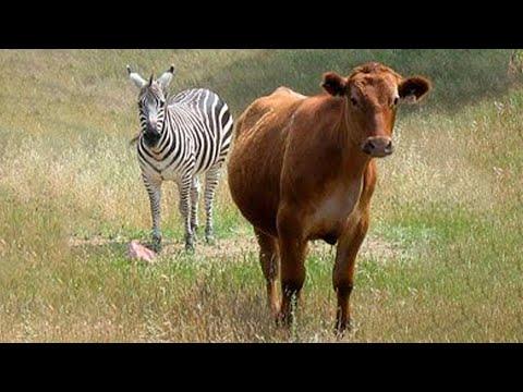 Zebra and Cow Meet 2019