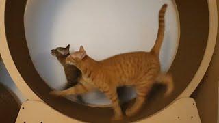 고양이의 커플 캣휠 사…