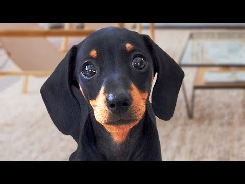 Funny Dachshund Dogs Compilation