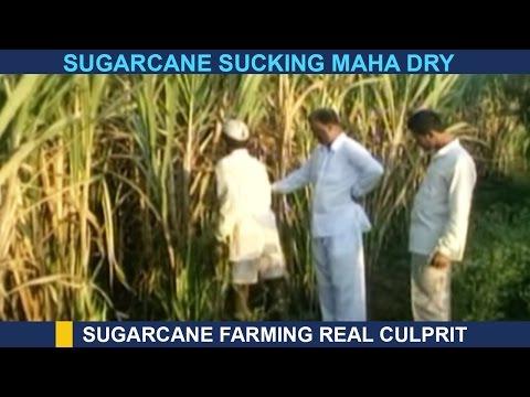 #IPLVsDrought: Sugarcane Farming Real Culprit In Maharashtra