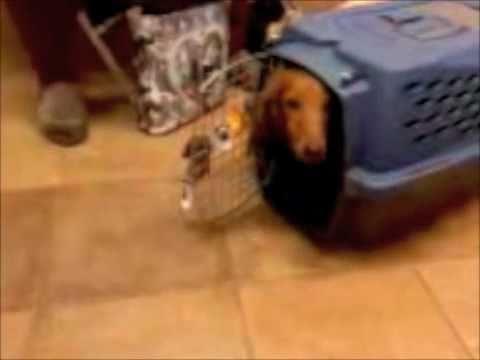 Hunter's Crate Trick; Dachshund putting himself in a crate!