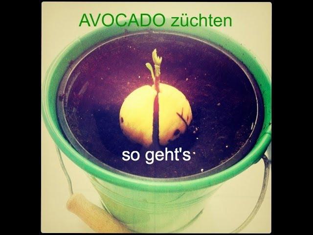 avocado züchten und pflanzen - tipps zum urbangarten, Garten und erstellen