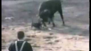 Pitbull type dog saves man from bull
