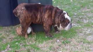 Hope - The Miniature English Bulldog For Sale