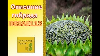 Подсолнечник П63ЛЕ113 🌻, описание гибрида 🌻 - семена в Украине