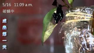 本影片紀錄青斑鳳蝶從終齡幼蟲、蛹至成蟲的變化過程,尤其是其破蛹(羽化...