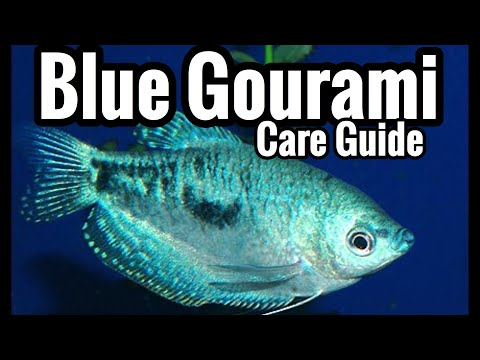 Opaline Blue Gourami Fish Care - Three Spot Species