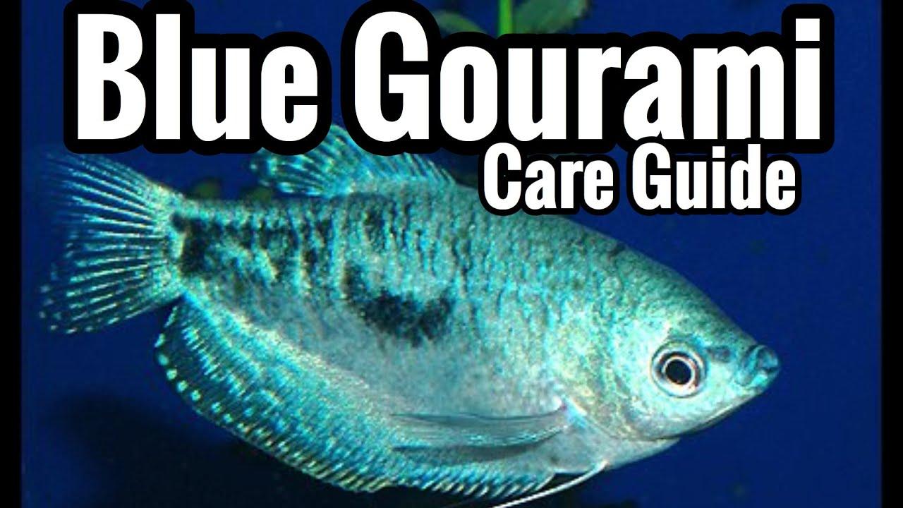 Three Spot Gourami Fish Care Sheet - An Ultimate Beauty