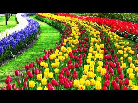 4K- Beautiful Tulip Flower Field And Festival
