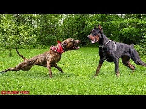 Pitbull Vs Doberman Real Fight