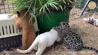 Фото Лев тигр и ягуар   детский сад Тайгана. Крым  Lion Tiger And Jaguar.
