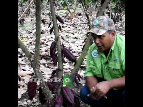 Maximiza Tu Producción 📈 De Cacao Con El Kit De Alto Rendimiento.