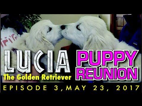 Lucia the Golden Retriever Episode 3: Puppy Reunion