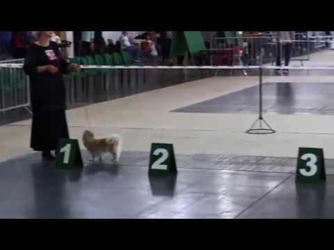 international dog show Poznan 2014 Tibetan spaniel