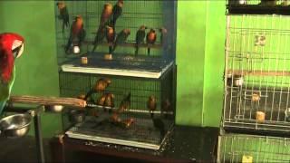 Macaw Paruh Bengkok, Jinak Jinak,Parrots