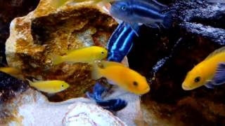 Майнгано (Melanochromis cyaneorhabdos)(, 2016-05-22T11:22:47.000Z)