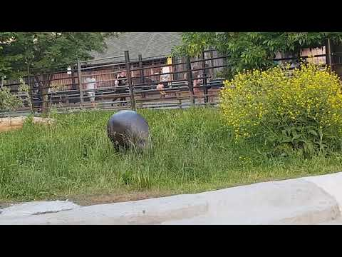 A female of Pygmy hippopotamus