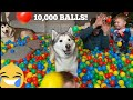 10000 ball surprise for my huskies  babies birt.ay cutest ever