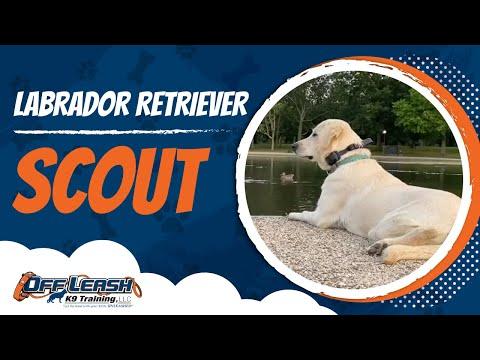labrador-retriever,-scout-|-labrador-dog-training-|-off-leash-k9-|-nova's-best-dog-trainers