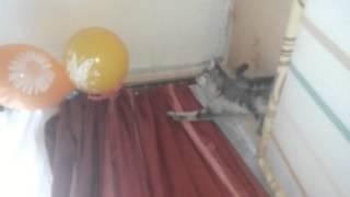 Кошка лопает воздушные шарики.