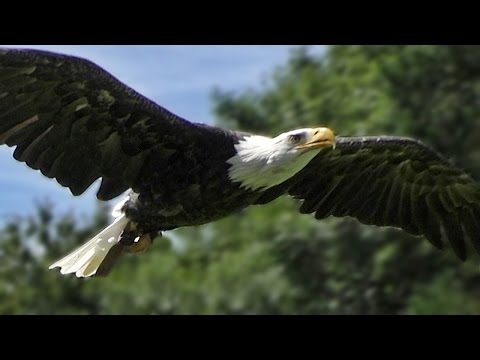 Bald Eagle Slow Motion Flying Display & Close Up - Birds of Prey