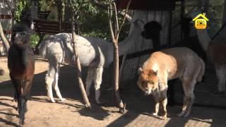 видео Альпака – самая ценная шерсть