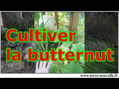 Comment cultiver la courge butternut youtube - Comment cuisiner les butternuts ...