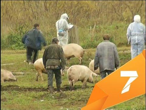 Показываем, что происходит в Зыково, где свиньи умирают от африканской чумы