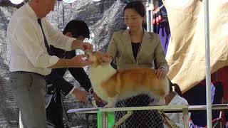 2017/09/18千葉昭和の森3日目☆コーギー牝 thumbnail